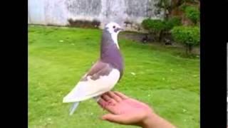 Burung merpati Balap | Burung Dara Balap Juara