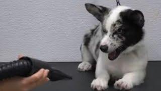 Crazy Corgi dog throws a temper tantrum