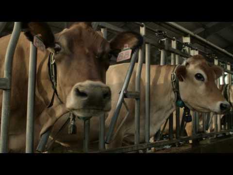 Dairy Stockmanship Skills - Spanish | Entendiende el manejo del Ganado lechero