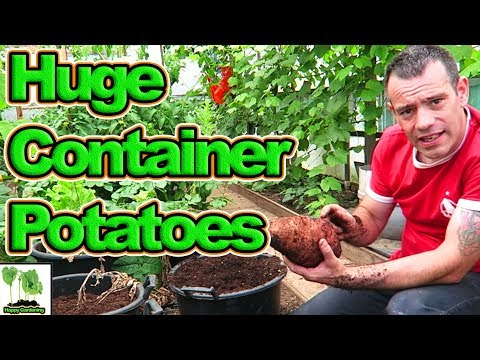 Huge Container Grown Potatoes