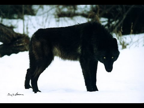 New Documentaries 2017 ,, Story '' BLACK WOLF /Documentary/ HQ