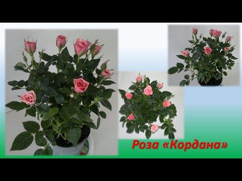 """Моя роза """"Кордана"""". Ухаживаем за Комнатной Розой.  Часть 1. В день покупки."""