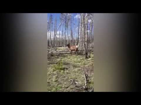 Elk charges after woman who tries to take a photo in Yellowstone