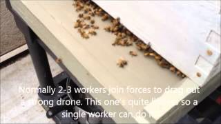 Honey bee drone expulsion