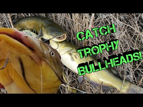 How To Catch GIANT Bullhead Catfish (for Beginners)