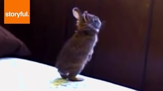 Repeat youtube video Baby Bunny Fails Window Jump