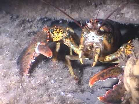 Marine Life  | Hide and Go Seek with the Lobster