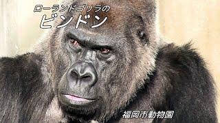 福岡市動物園のビンドン(ローランドゴリラ)。 アップの目力はかなりの...