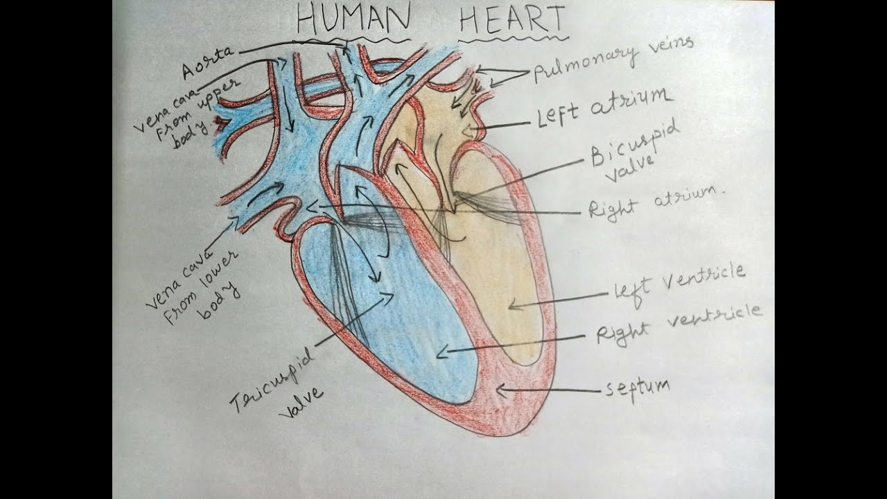 HOW TO DRAW HUMAN HEART | EASY DIAGRAMS | STEP BY STEP FOR ...