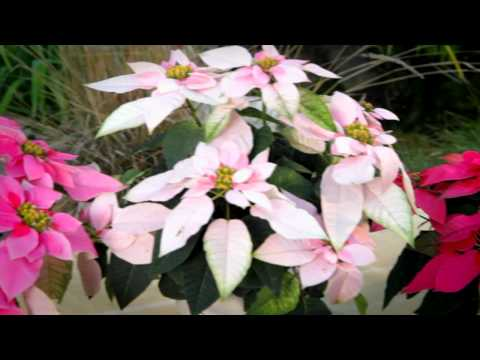 Princettia New, Pink Plant for Special Occasion Gifts