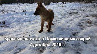 Красные волчата в Парке хищных зверей 7 декабря 2016 г.