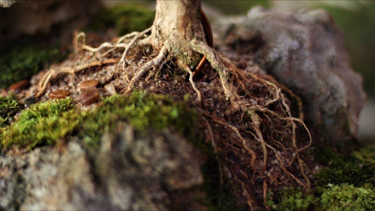 Scott - Penjing / Ishitsuki (Buxus Sempervirens) vídeo 4