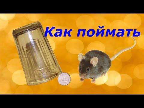 Как выманить мышь в квартире
