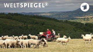 Brexit: Was wird aus Wales Schafszüchtern? | Weltspiegel