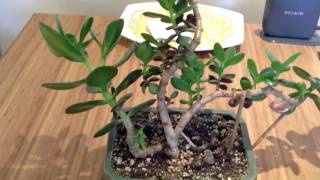 Jade Plant Bonsai Trimming- JAMES VLOG #16
