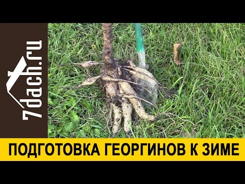 Подготовка ГЕОРГИНОВ к зиме 7 дач