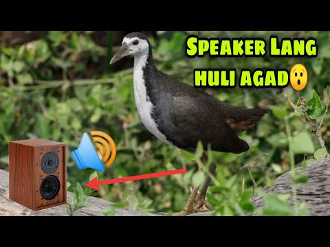 Download easy way to catch BREASTED WATERHEN using SPEAKER 🔊