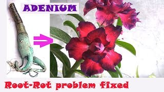 How to fix ROOT-ROT in Adenium?/अडेनियम के सड़न रोग का उपचार कैसे करें?