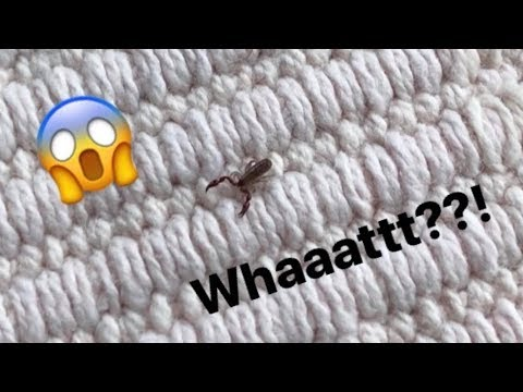 This SCORPION species has NO tail or sting ~ AMAZING !!!