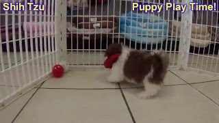 Shih Tzu, Puppies, For, Sale, In, Cedar Rapids, Iowa, Ia, West Des Moines, Ames, Council Bluffs, Wat