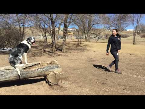 Best Dog Trainers in Colorado! 8-Month-Old Australian Shepherd/Lab mix Finley.