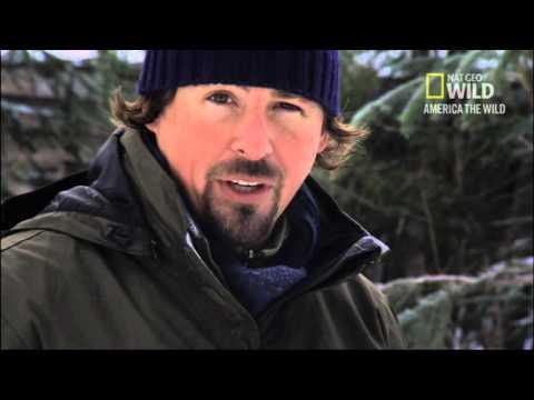 Nat Geo Wild Wolverine King