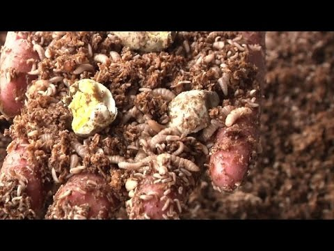 In China Maggots Finish Plates And Food Waste Youtube