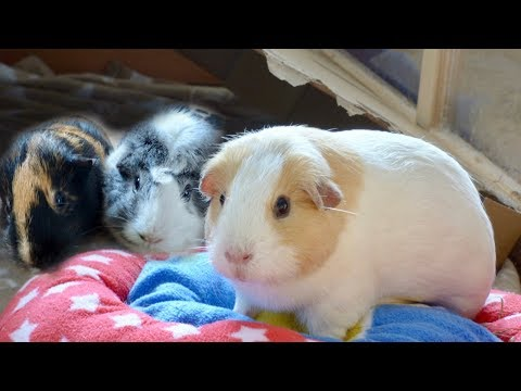 A Guinea Pig Floor Time Vlog: Minnie's First Floor Time & Squeaking on Camera