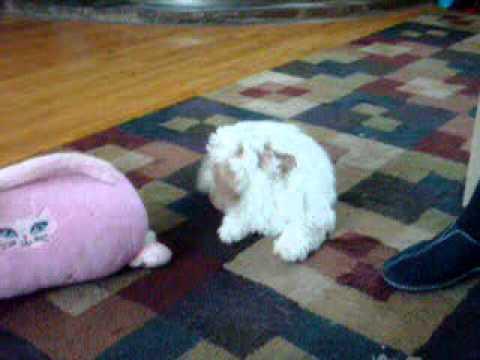 Coton De Tulear X Poodle Puppy You