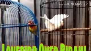 Cara paling jitu atasi Lovebird Over Birahi