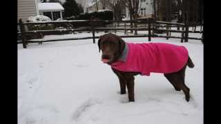 Charlie The Labrador Retriever In The Snow 2014
