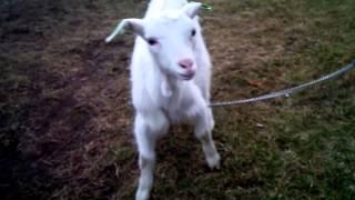 Породы домашних коз. Зааненская коза