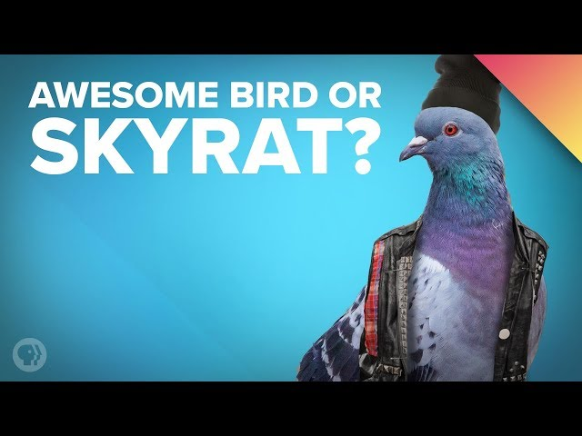 Pigeon Story: How the Rock Dove Became the Sky Rat