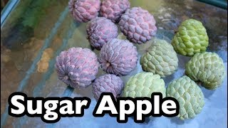 All About Sugar Apples