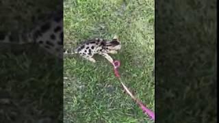 Бенгальский кот. Редкая порода. Шикарный Папик нашего Вирсика. Bengal cat.