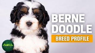 Bernedoodle Dog Breed Profile   Dogs 101  Bernese Mountain Dog Poodle Mix