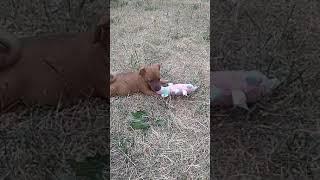 Цвергпинчер-пинчер миниатюрный,щенки
