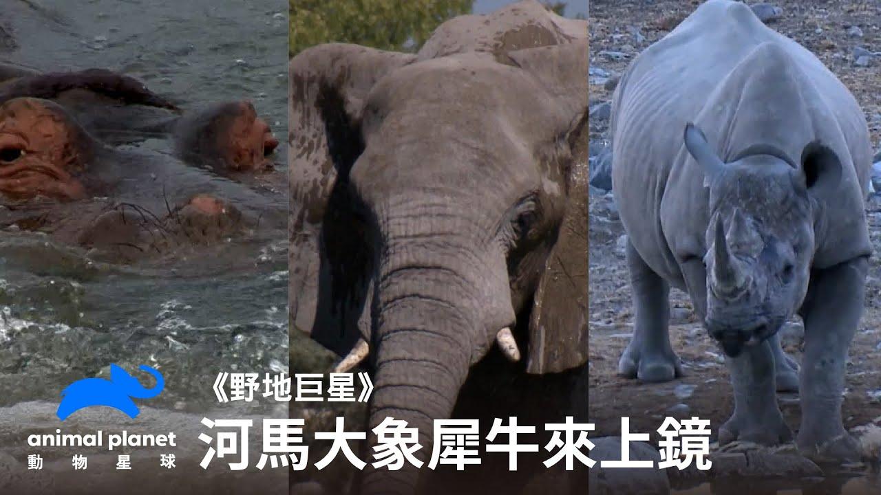 《野地巨星》不挑食的大象、共用廁所的犀牛與有個性熱愛水療的河馬|動物星球頻道