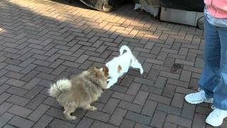 Papillon Puppy & Pomeranian