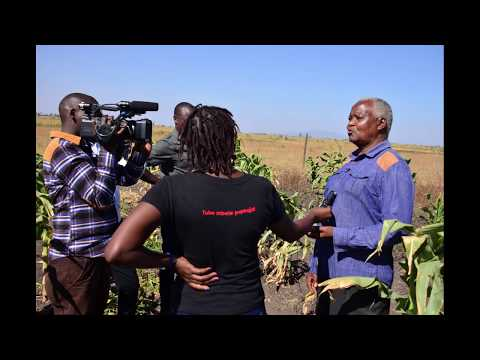 Why Maize Farmers in Eastern Kenya are  Asking for GMO seeds- Radio Maisha