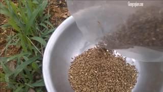 Hạt Giống Cỏ Mulato 2 - Video thực tế Ươm Hạt Cỏ Mulato nảy mầm cao