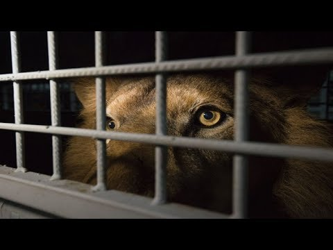 33 Lions Endured A Lifetime Of Abuse At A Circus  Then The Moment They Tasted Freedom Finally Came