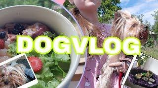 DOGVLOG:покупки для собак,питание,прогулка.Йоркширские терьеры.