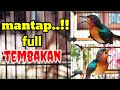 Masteran Kolibri Wulung Gacor Full Tembakan  Mp3 - Mp4 Download