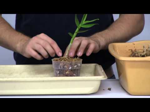 How to Stimulate New Root Growth on Orchids