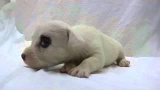 かわいいシーリハムテリアの子犬が誕生しました! ブリーダー直販にて、...