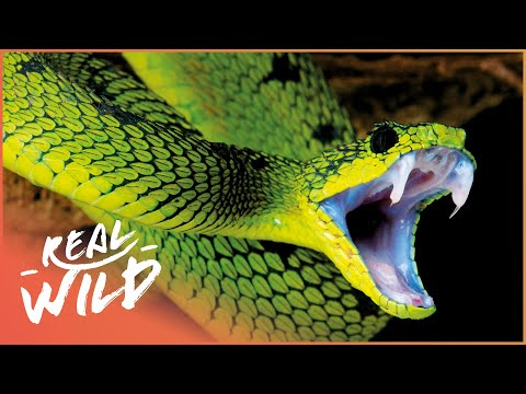World's Deadliest Venom [Killer Snakes Documentary] | Real Wild