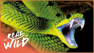 World's Deadliest Venom (Snake Documentary) | Real Wild