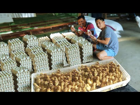 Inside the most successful DUCK FARM│How this farm raised ducks & Produce thousands of eggs everyday