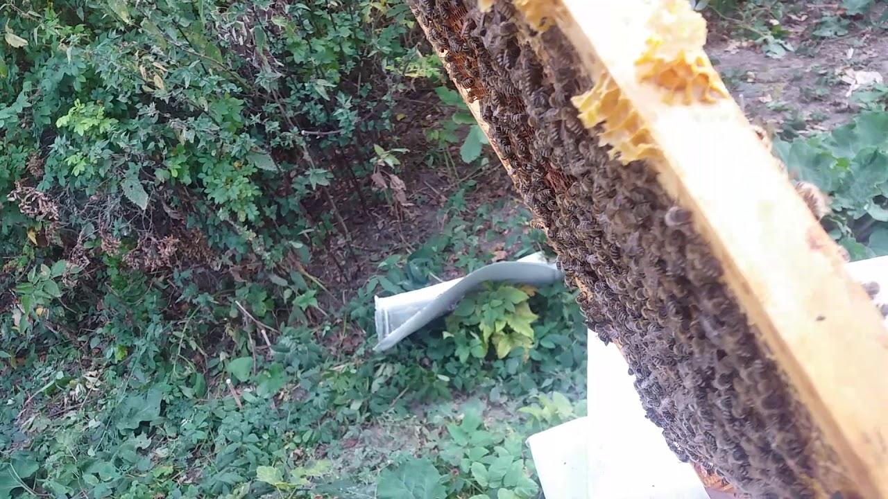 Бакфаст в начале сентября, пчелосемья с маткойВ1KOR. 7.9.2019г.